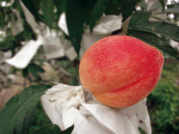 水蜜桃的滋味