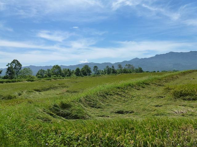大豪雨後,水稻怎麼又倒伏了?