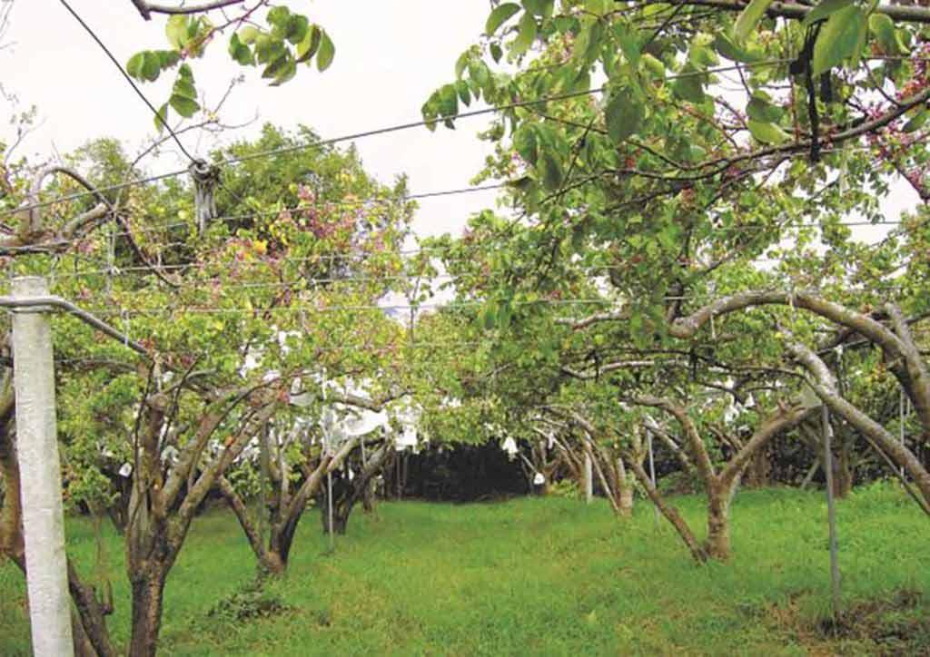 楊桃園與青草